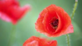 Poppies. Macro Royalty Free Stock Photography