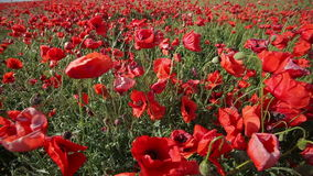 Poppies. Macro Royalty Free Stock Images