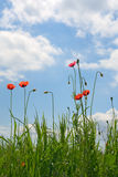 Poppies on meadow Royalty Free Stock Images