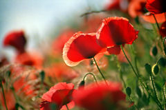 Poppies on a meadow. Red poppies on a meadow, summer Royalty Free Stock Photo