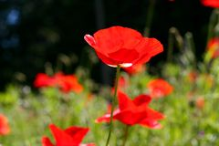 Poppies in meadow. Summer poppies in wildflower meadow stock image