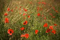 Poppies in a meadow at dusk Royalty Free Stock Photos