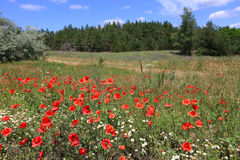 Poppies on meadow in forest Royalty Free Stock Photo