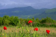 Poppies meadow mountain Stock Images