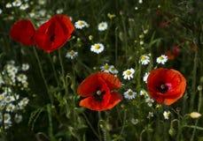 Poppies on a meadow near Baden Baden_ Baden Wuerttemberg, Germany, Europe Stock Photo