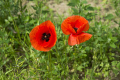 Poppies on a meadow near Baden Baden_ Baden Wuerttemberg, Germany, Europe Royalty Free Stock Images