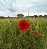 Poppies on a meadow near Baden Baden_ Baden Wuerttemberg, Germany, Europe Stock Image
