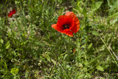 Poppies on a meadow near Baden Baden_ Baden Wuerttemberg, Germany, Europe Stock Images