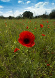 Poppies on a meadow near Baden Baden_ Baden Wuerttemberg, Germany, Europe Royalty Free Stock Photos