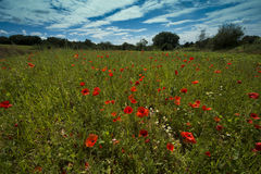 Poppies on a meadow near Baden Baden_ Baden Wuerttemberg, Germany, Europe Royalty Free Stock Image