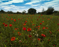 Poppies on a meadow near Baden Baden_ Baden Wuerttemberg, Germany, Europe Royalty Free Stock Photo