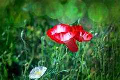 Poppies on a meadow Stock Photography