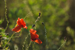 POPPIES IN THE MEADOW Stock Photography