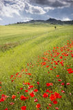 Poppies on a meadow Royalty Free Stock Photography
