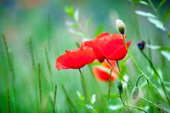 Poppies in a meadow in spring. Stock Images