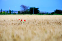 Poppies meadow and summer storm Stock Photos