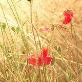 Poppies on a meadow Stock Image