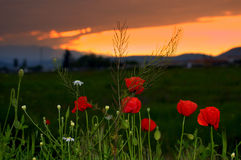Poppies meadow sunset Stock Images