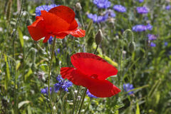 Poppies on meadow Stock Photos