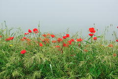 Poppies in the morning mist Royalty Free Stock Image