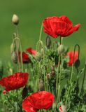 Poppies in nature Stock Photo