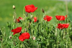 Poppies in nature Royalty Free Stock Photos