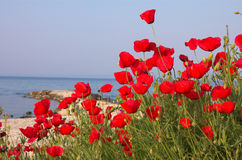 Poppies near the pier Royalty Free Stock Photography