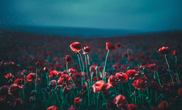 Poppies at night Stock Photography
