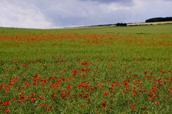 Poppies in the Oilseed Rape Stock Image