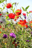 Poppies and other wild flowers on a green field in spring Royalty Free Stock Image
