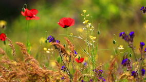 Poppies and other wildflowers on a wind stock footage