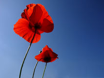 Poppies over blue sky. Close up shot of poppy flowers over clear blue sky Royalty Free Stock Photos