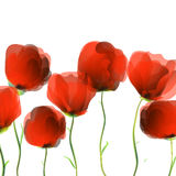 Poppies over white Royalty Free Stock Photography