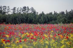 Poppies field, forest on the background. Poppies Papaver dubium and cornflowers Centaurea cyanus field on the sunny summer day Royalty Free Stock Photos