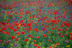 Red poppies and blue cornflowers. Poppies Papaver dubium and cornflowers Centaurea cyanus field on the sunny summer day Royalty Free Stock Image