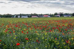 Countryside with beautiful poppy field. Poppies Papaver dubium and cornflowers Centaurea cyanus field on the sunny summer day, village houses on the background Royalty Free Stock Image