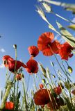 Poppies - papaver rhoeas royalty free stock images