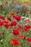 Poppies (Papaver rhoeas) Royalty Free Stock Photo