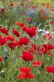 Poppies (Papaver rhoeas) Royalty Free Stock Photo