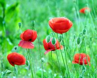 Poppies Papaver rhoeas with big red flowers