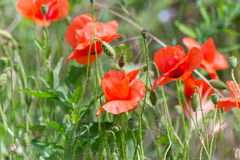 Poppies (Papaver Rhoeas) Stock Images