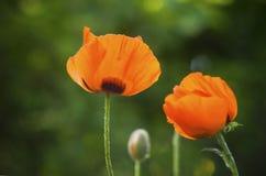 Poppies (Papaver somniferum) Stock Photography