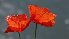 Poppies or Papavers in June Royalty Free Stock Photo