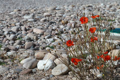 Poppies and pebbles on the beach Royalty Free Stock Photography