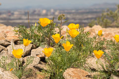 Poppies with Phoenix in background. Mexican poppies in bloom with downtown Phoenix in the background. South Mountain National Trail Royalty Free Stock Image