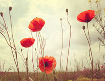 Poppies. Royalty Free Stock Photos