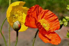 Poppies Please Stock Images