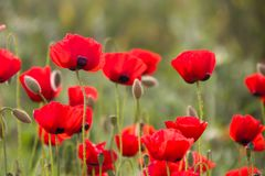 Poppies in  Poppy field. Hello spring, Mediterranean Spring landscape, rural background stock photos