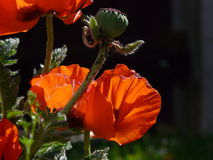 Poppies before and after Stock Image