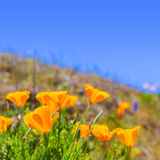 Poppies poppy flowers in orange at California spring fields Royalty Free Stock Image